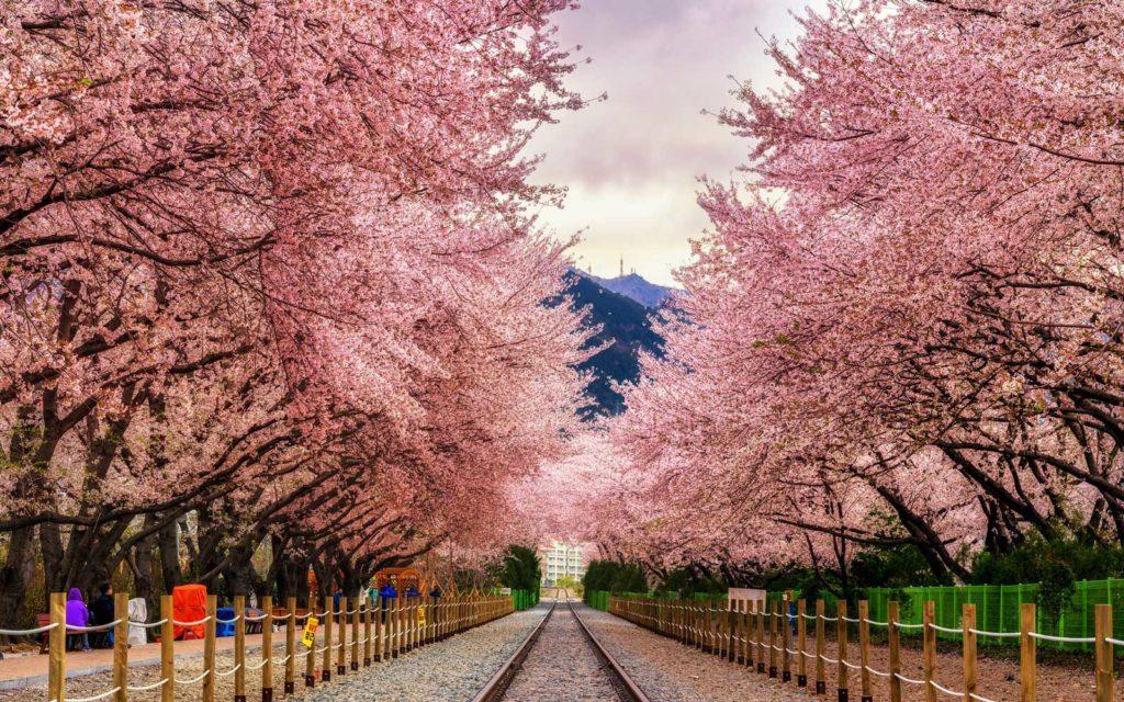 Cherry Blossom Festival, South Korea